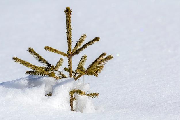 Beau paysage d'hiver de noël. petit jeune sapin vert tendre épinette poussant seul dans la neige profonde sur la pente de la montagne par temps froid et ensoleillé givré sur le mur de l'espace copie blanc clair clair.