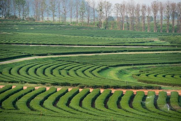 Beau paysage de jardin de thé vert