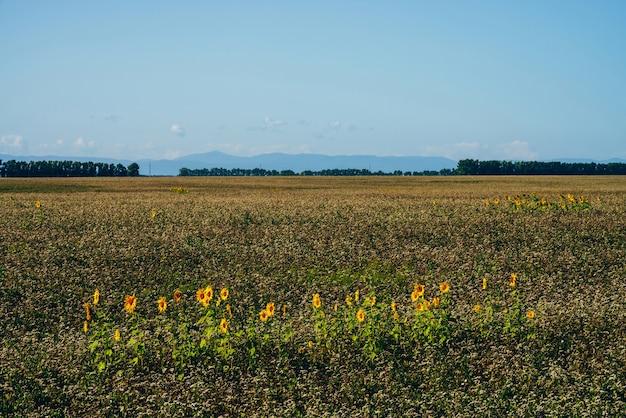 Beau paysage pittoresque avec des tournesols récoltés dans un champ vide sous un ciel bleu