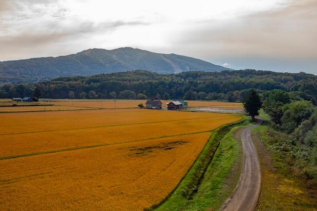 Beau paysage de rizière de riz jaune à hokkaido au japon