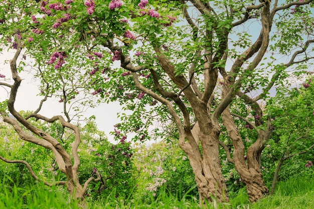 Beau paysage avec de vieux lilas fleurissant dans les lilas du jardin sous les rayons du soleil