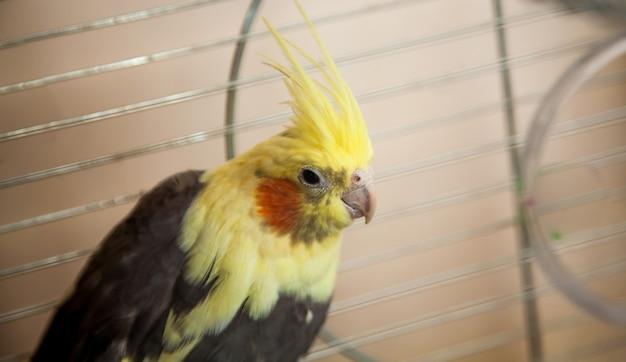Beau perroquet cockatiel jaune assis dans une cage en métal