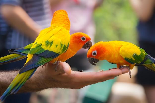 Un beau perroquet coloré manger de la nourriture dans sa main