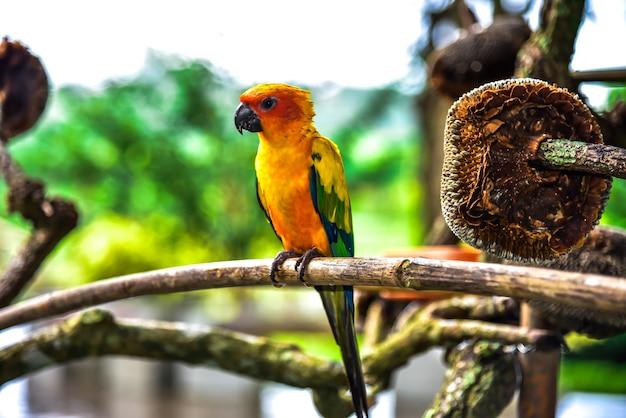 Beau perroquet, conure de soleil sur une branche d'arbre avec un arrière-plan flou.