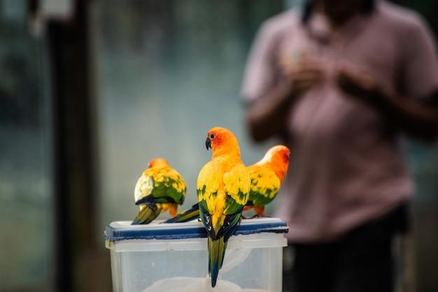 Beau perroquet, sun conure sur la boîte à nourriture
