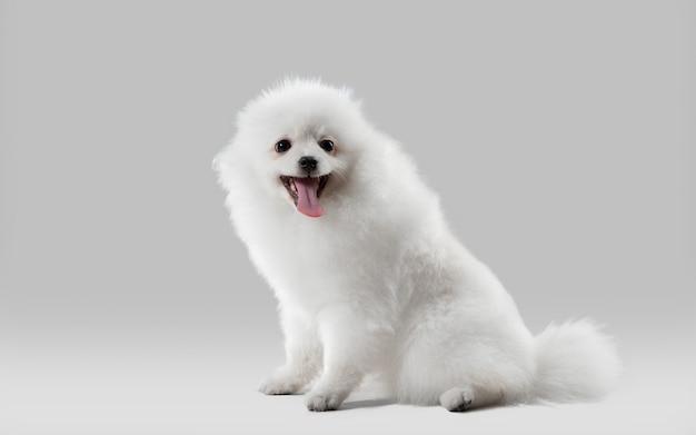 Le beau petit chien spitz de compagnon pose le chien ou l'animal familier blanc espiègle mignon jouant sur le gris