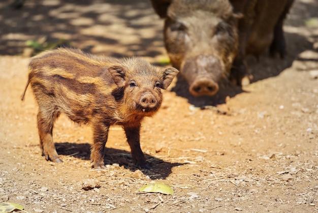 Beau petit cochon. nouvel an chinois 2019. cochon du zodiaque