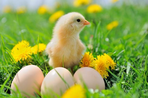 Beau petit poulet sur l'herbe verte