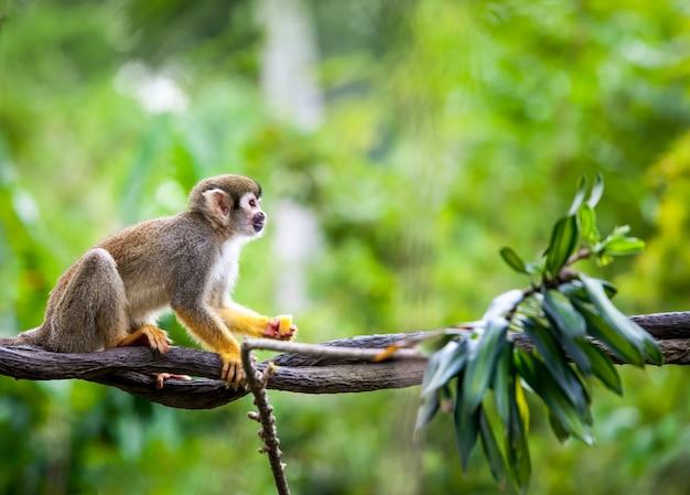 Beau petit singe écureuil