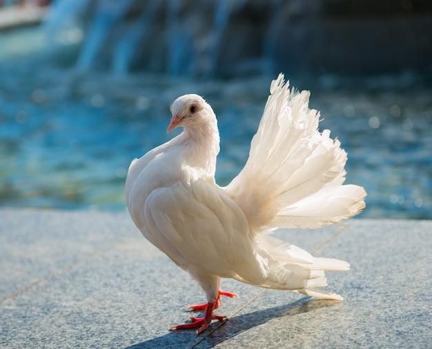 Beau pigeon blanc près de la fontaine