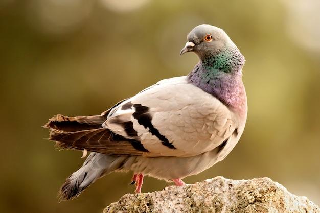 Beau pigeon sauvage