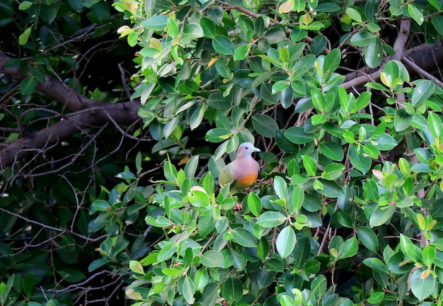 Beau pigeon vert sauvage à la bille épaisse se reposant sur un grand arbre