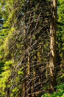 Beau pin sur les montagnes