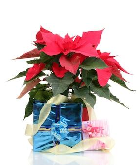 Beau Poinsettia Avec Différents Cadeaux Isolés Sur Blanc Photo Premium