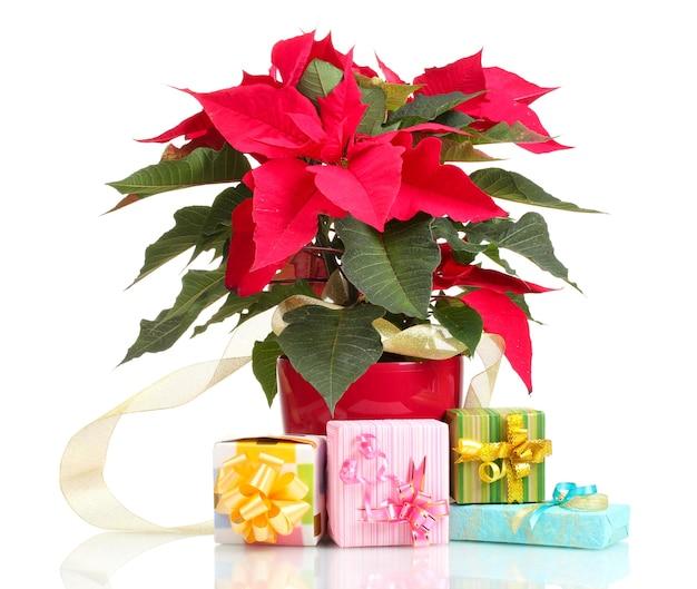 Beau poinsettia avec différents cadeaux isolés sur blanc
