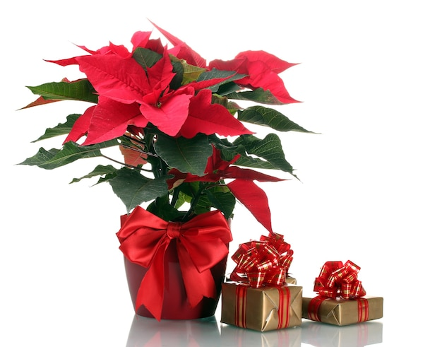Beau poinsettia en pot de fleurs et cadeaux isolés sur blanc