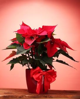 Beau poinsettia en pot de fleurs sur fond rouge