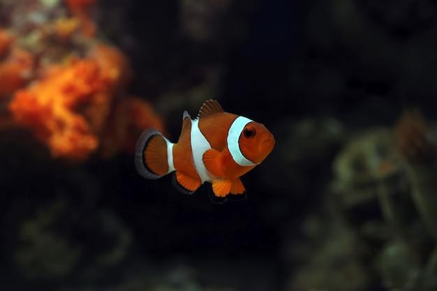 Beau poisson anémone dans le réservoir