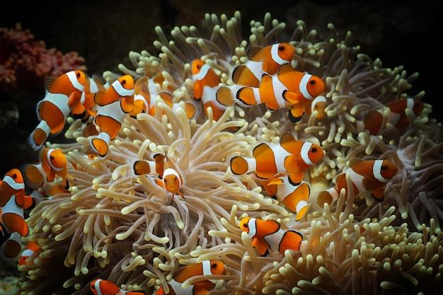 Beau poisson anémone sur le récif de corail, poissons marins sous-marins de l'indonésie