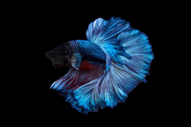 Beau poisson betta ou poisson de combat en mouvement