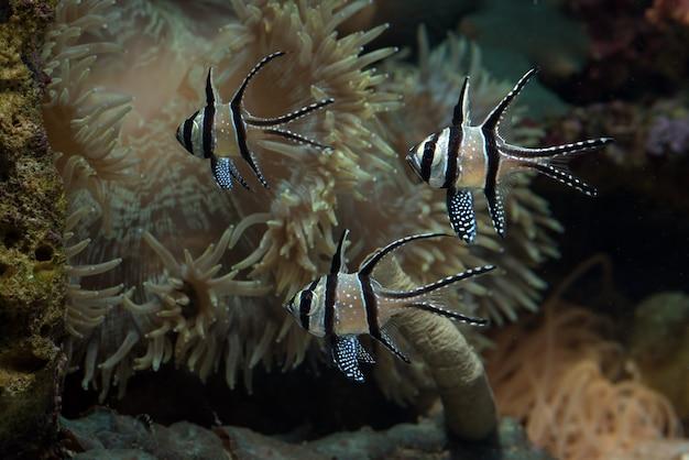 Beau poisson cardinal de banggai au récif de corail