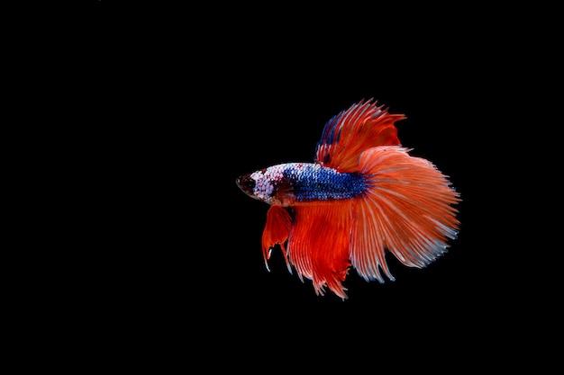 Beau poisson coloré de betta siamois