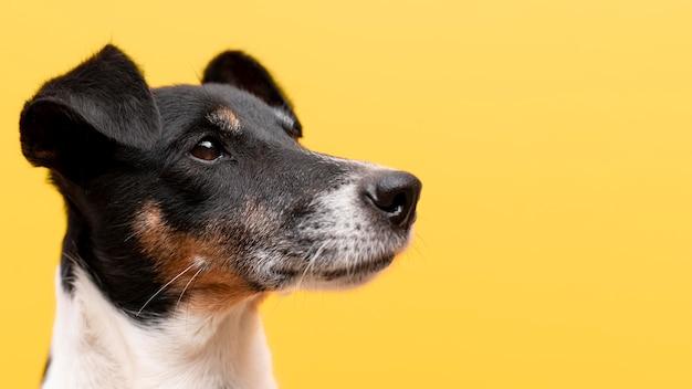 Beau portrait d'animal familier de chien de terrier de jack