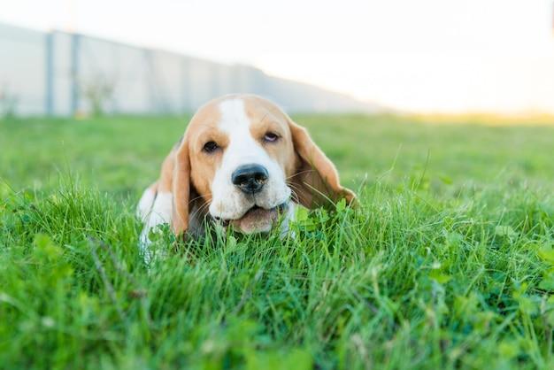 Beau portrait de beagle