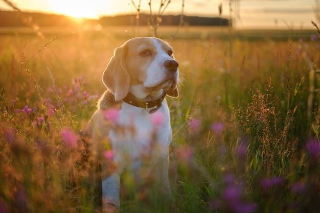 Beau portrait d'un chien beagle sur une prairie d'été parmi les fleurs sauvages au coucher du soleil