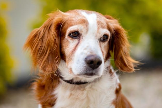Beau portrait d'un chien blanc et brun