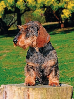 Beau portrait de chien chiot teckel.