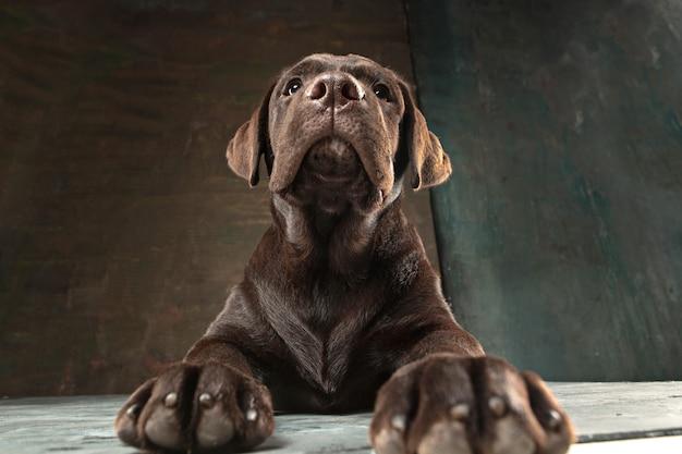 Beau portrait d'un chiot labrador retriever chocolat