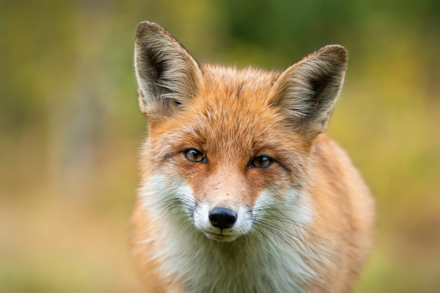 Beau portrait de renard roux ayant un contact visuel avec la caméra aux couleurs d'automne