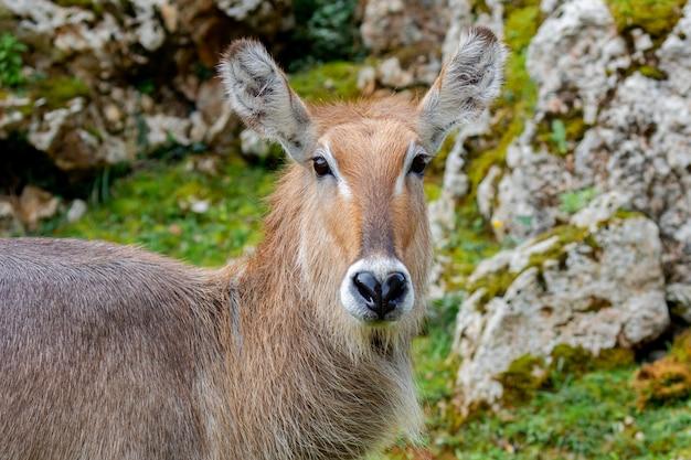 Beau portrait d'une sorte d'antilope, le cobo lichi