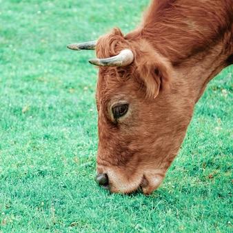 Beau portrait de vache brune dans le pré