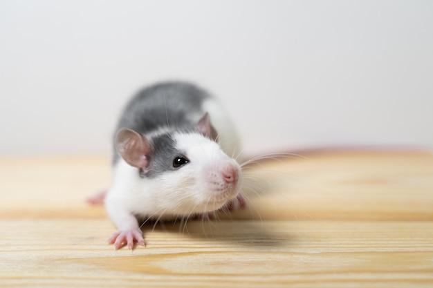 Beau rat isolé sur fond blanc. accueil souris symbole 2020 nouvel an