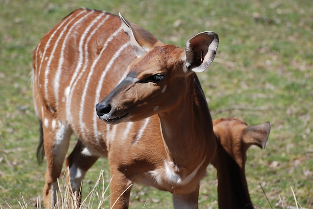 Beau regard sur une femelle nyala avec des rayures blanches.