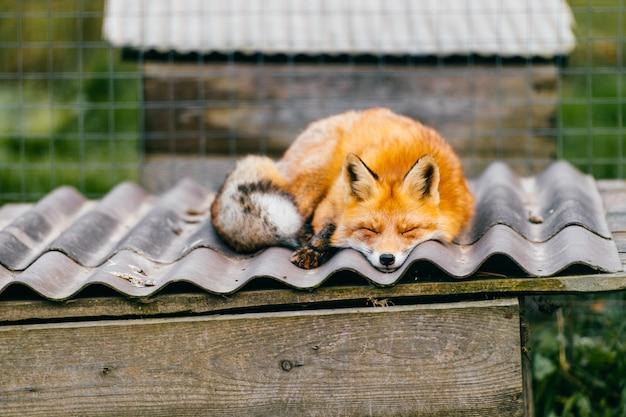 Beau renard dormant sur le toit.