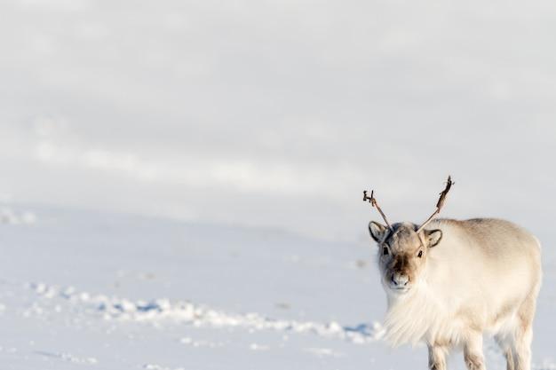 Beau renne avec grand espace blanc neige ouverte à svalbard, norvège
