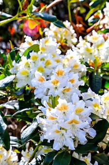 Beau rhododendron blanc avec pilon jaune