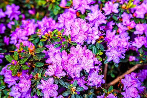 Beau Rhododendron Lilas Avec Pilon Rouge Photo Premium