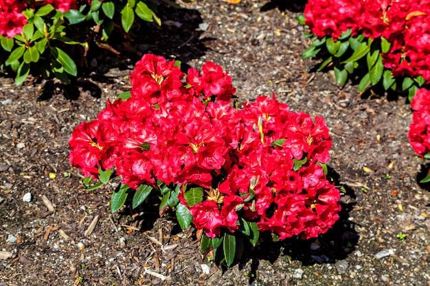 Beau rhododendron rouge avec pilon jaune