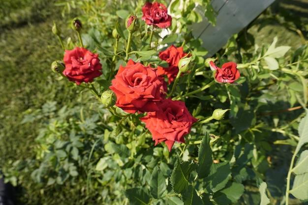Beau rosier rouge dans le parc