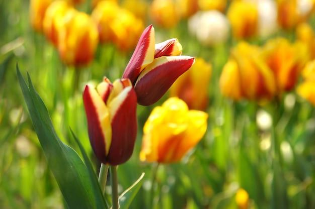 Beau rouge avec des tulipes jaunes dans le jardin