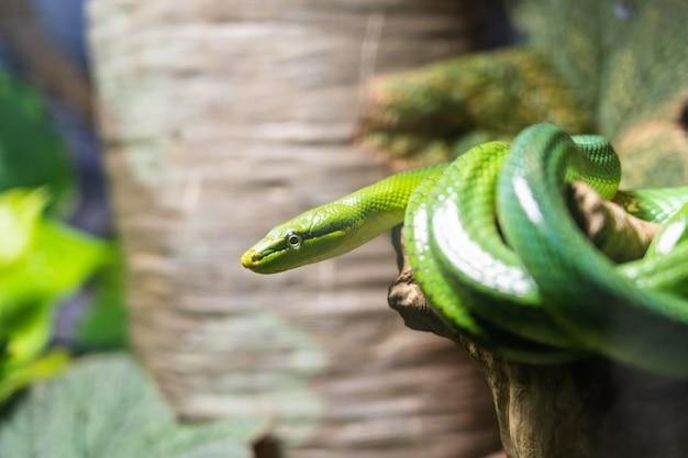 Beau serpent vert sur la branche