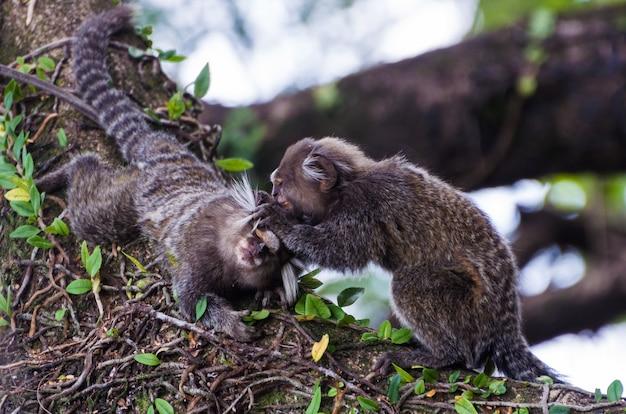 Beau singe ouistiti (callithrix jacchus) trouvé en grande quantité dans la ville de salvador au brésil
