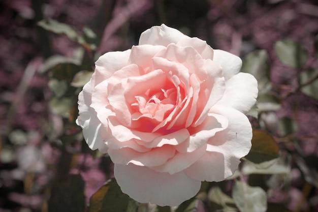 Beau style vintage rose rose frais