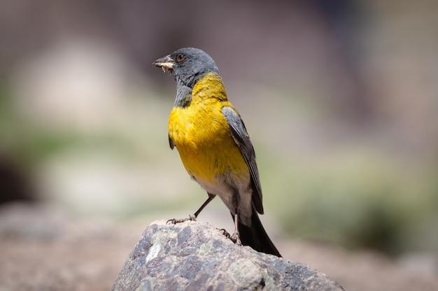 Beau tangara bleu et jaune sur le rocher