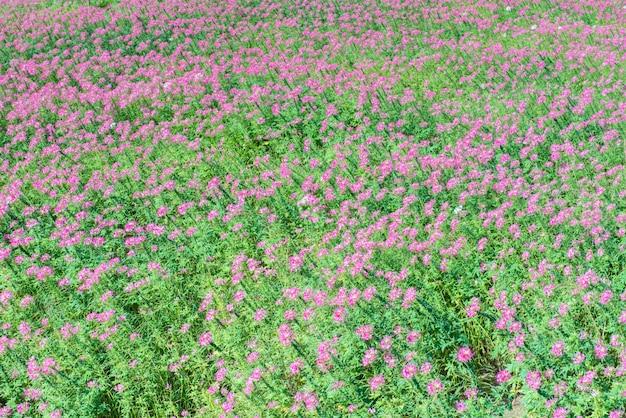 Beau terrain de jardin rose et renunculus.