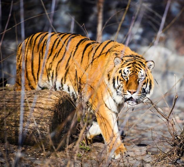 Beau tigre de l'amour